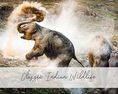 Classic-Indian-Wildlife