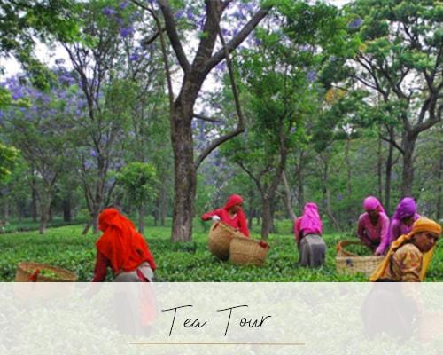 Palampur and the Kangra Tea Estates of Himachal Pradesh - Beyond the Taj, Palampur