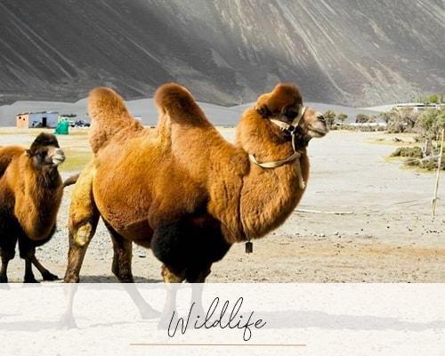 The Nubra Valley - Beyond the Taj, Nubra Valley